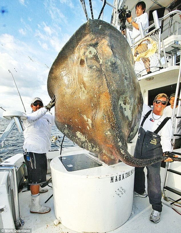 Sea Creature: Huge stingray skate found near Miami coast