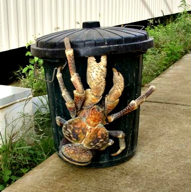 This is a photo of a really large crab climbing on a normal sized trash can